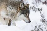 KA_171230_37 / Canis lupus / Ulv