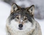 KA_171230_51 / Canis lupus / Ulv