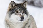KA_171230_52 / Canis lupus / Ulv