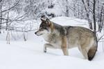 KA_171230_56 / Canis lupus / Ulv