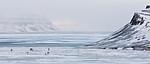 KA_180304_198 / Rangifer tarandus platyrhynchus / Svalbardrein
