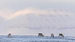 KA_180304_202 / Rangifer tarandus platyrhynchus / Svalbardrein