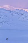 KA_180304_236 / Rangifer tarandus platyrhynchus / Svalbardrein