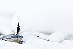 KA_180305_131 / Lagopus muta hyperborea / Svalbardrype