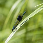 KA_180616_96 / Calopteryx splendens / Blåbånd-vannymfe