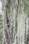 KA_190923_169 / Usnea longissima / Huldrestry