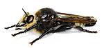 KA_gibbosa_side / Laphria gibbosa / Pukkelrygget rovflue