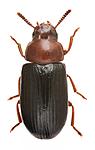 KA_haemorrhoidalis / Neomida haemorrhoidalis