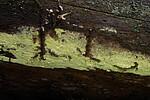 SIG_0773 / Amylocorticium subincarnatum / Rosenjodskinn