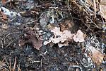 SIG_0960 / Hydnellum gracilipes / Skyggebrunpigg