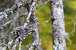 SIG_2138 / Erioderma pedicellatum / Trønderlav