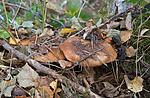 SIG_2554 / Cortinarius saporatus / Skrentslørsopp