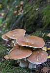 SIG_2646 / Cortinarius praestans / Kjempeslørsopp