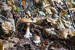 SIG_2676 / Cortinarius saporatus / Skrentslørsopp
