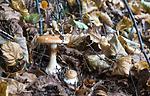 SIG_2679 / Cortinarius saporatus / Skrentslørsopp
