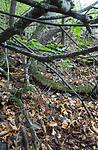 SIG_2695 / Cortinarius saporatus / Skrentslørsopp