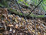 SIG_2702 / Cortinarius saporatus / Skrentslørsopp