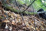SIG_2708 / Cortinarius saporatus / Skrentslørsopp