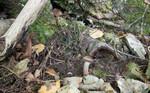 SIG_2786 / Cortinarius serratissimus / Edelslørsopp