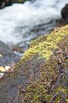 SIG_3034 / Scapania apiculata / Fakkeltvebladmose