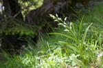 SIG_4007 / Cephalanthera longifolia / Hvit skogfrue