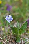 SIG_4071 / Viola canina / Engfiol