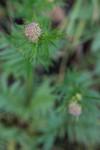 SIG_4156 / Valeriana officinalis / Legevendelrot