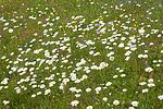 SIG_4252 / Leucanthemum vulgare / Prestekrage