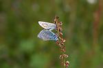 SIG_4256 / Polyommatus icarus / Tiriltungeblåvinge