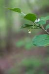 SIG_6431 / Cotoneaster laxiflorus / Svartmispel