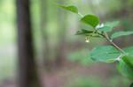 SIG_6433 / Cotoneaster laxiflorus / Svartmispel