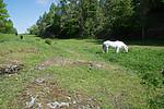 SIG_6537 / Equus caballus / Hest