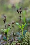 SIG_6922 / Chimaphila umbellata / Bittergrønn