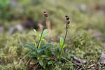 SIG_6928 / Chimaphila umbellata / Bittergrønn