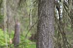 SIG_7224 / Usnea longissima / Huldrestry
