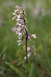 SIG_7505 / Epipactis palustris / Myrflangre