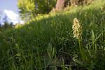 SIG_9149 / Dactylorhiza sambucina / Søstermarihand