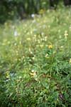 SIG_9220 / Rhinanthus angustifolius / Storengkall