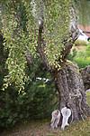 SIG_9690 / Betula pendula / Hengebjørk