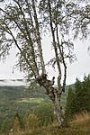 SIG_9958 / Betula pubescens pubescens / Dunbjørk
