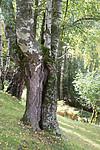 SIG_9974 / Betula pubescens pubescens / Dunbjørk