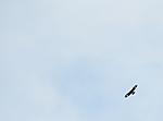 SIR_0019 / Aquila chrysaetos / Kongeørn
