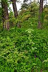 SIR_0504 / Orchis mascula / Vårmarihand