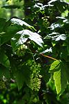 SIR_0576 / Acer pseudoplatanus / Platanlønn