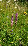 SIR_1811 / Gymnadenia conopsea / Brudespore