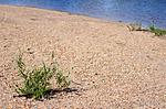 SIR_2389 / Salix daphnoides / Påskepil <br /> Salix daphnoides