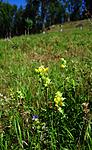 SIR_2629 / Rhinanthus angustifolius / Storengkall