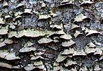 SIR_2812 / Trichaptum laricinum / Lamellfiolkjuke