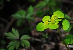 SIR_5072 / Chrysosplenium alternifolium / Maigull