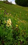 SIR_5385 / Dactylorhiza sambucina / Søstermarihand
